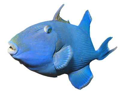 Blue-Triggerfish-400