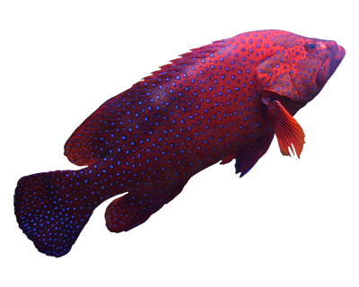Red-Tropical-Fish-400